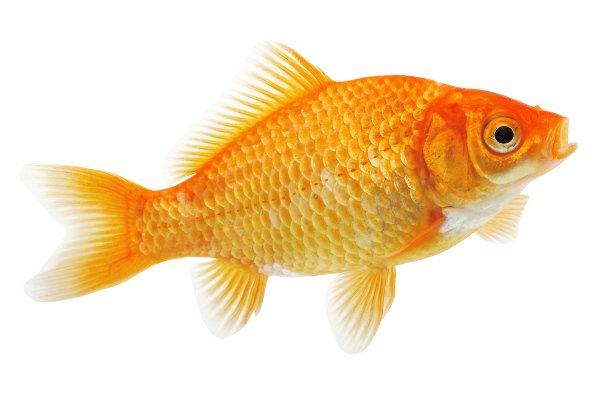 Spende 500 dollari per salvare il suo pesciolino rosso for Quanto vive un pesce rosso