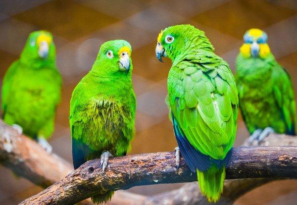 pappagallo testimone